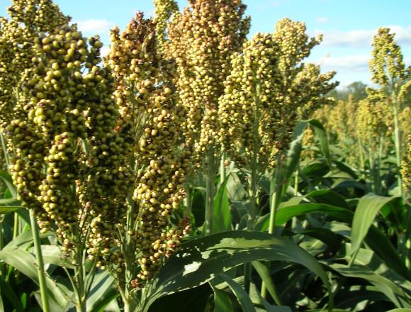 Sorghumhirse - unsere Pflanze der Woche
